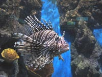 A lionfish at Phuket aquarium